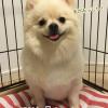 ポメラニアンにおすすめのドッグフードは?涙やけや毛艶・関節ケアで口コミ評価の高いカナガンが人気|愛犬体験ブログ