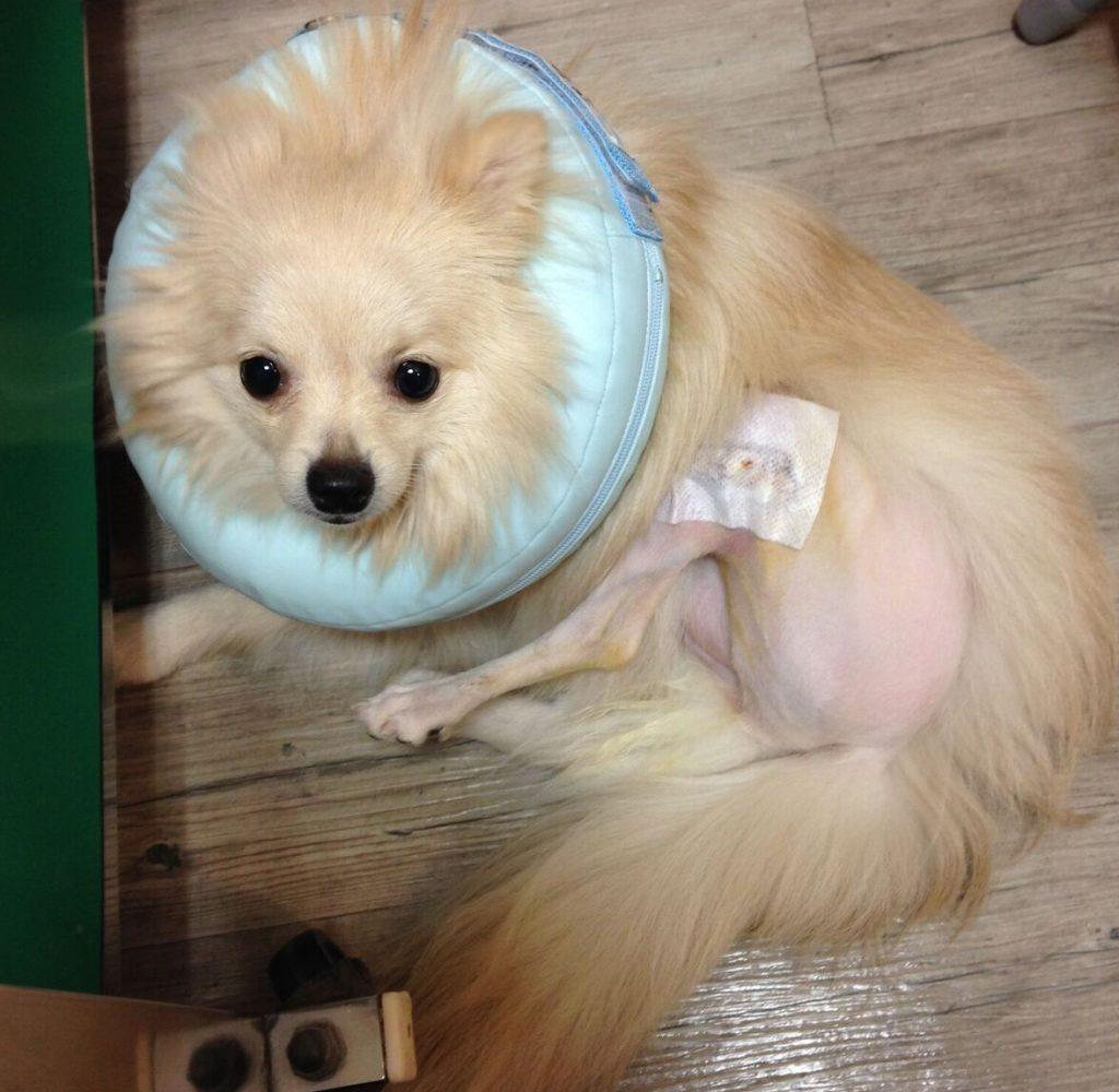 犬 膝蓋骨脱臼 手術した愛犬ポメラニアン