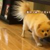 愛犬の床のショールームに行ってきた!実際の床を体験!うちのビビり犬はどうなった?編