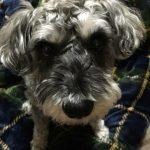 【モグワン】体験口コミ(3)高齢犬になり元気がなかったシュナウザーが散歩に行きたがるように!|ドッグヘルスアドバイザーブログ