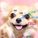 犬の涙やけの原因と対策って?|【図解】ドッグヘルスアドバイザーが分かりやすく解説します