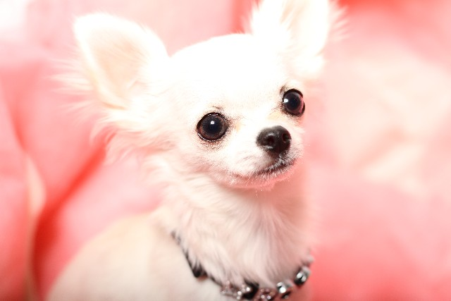 仔犬は低血糖症に注意!