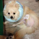 犬の膝蓋骨脱臼って?愛犬(ポメラニアン)の手術体験日記と関節を守る3つの対策