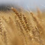ドッグフードの小麦・大麦・オートミールの違いって何?|危険なフードの見分け方