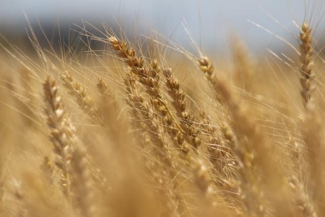 ドッグフード 小麦 大麦 オート麦 オートミールの違いは?危険なフード
